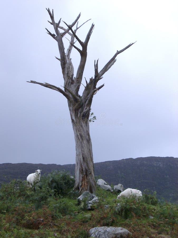 owce drzewo nie żyje obraz stock