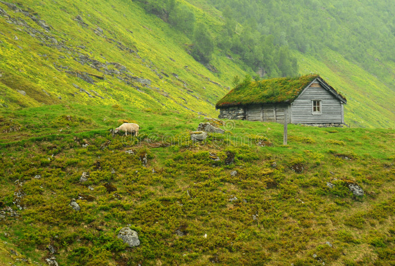 owce rolnych. obraz royalty free