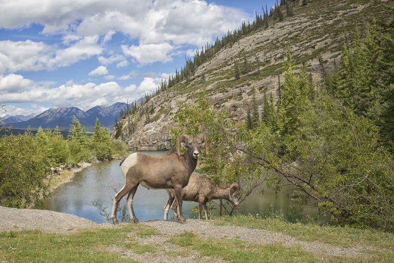 owce skaliści bighorn góry obrazy royalty free