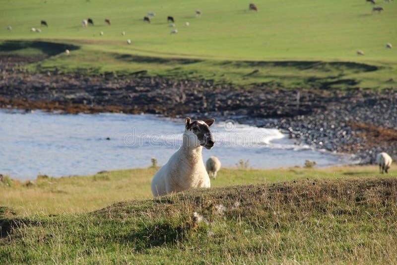 Owce w Craster, Northumberland zdjęcie stock
