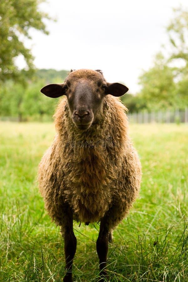 owce w warunkach polowych obrazy stock