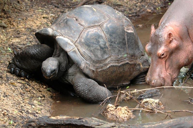 Owen et Mzee une amitié exceptionnelle photos stock