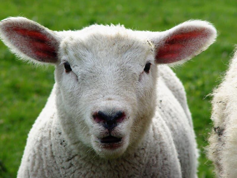 - Owieczka Zdjęcia Stock