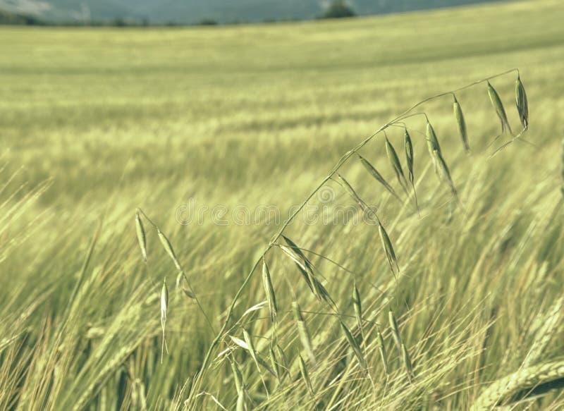Owies roślina w jęczmienia polu Złoty Śródpolny Rolniczy krajobraz obrazy royalty free