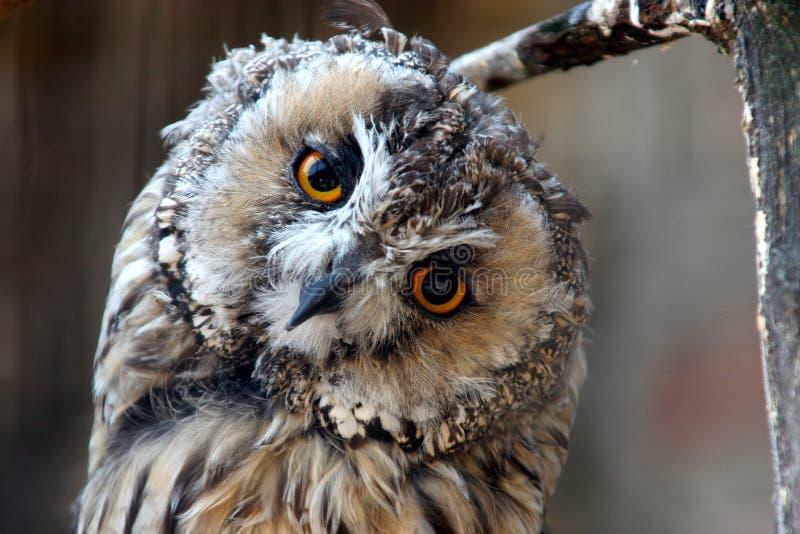 Download Owl stock image. Image of hunter, majestic, wild, swift - 1148155