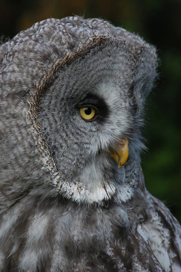 Owl stock photo