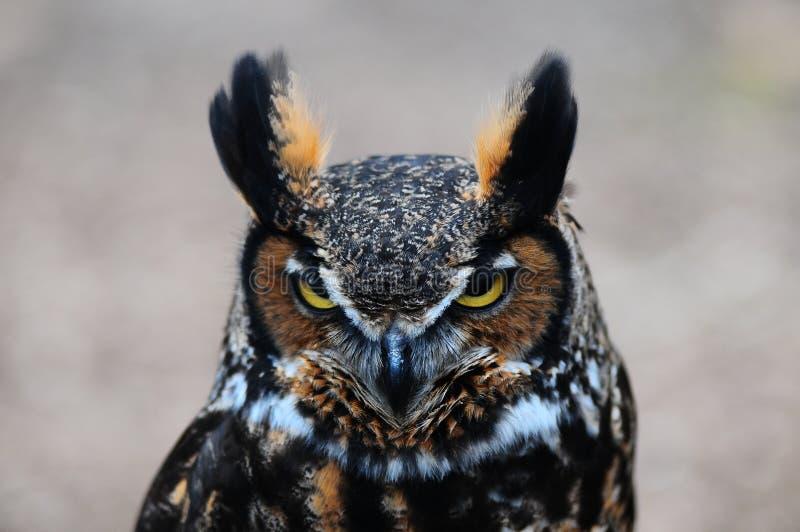 Owl. An owl at the wild bird sanctuary in Valley Park Missouri royalty free stock photo