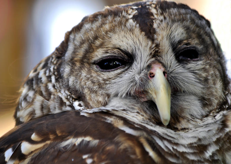 Owl. This is a close up picture of a common barn owl; also known as a ghost owl or Tyto alba stock photos