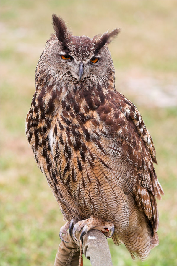 Download Owl stock image. Image of environment, beak, animal, zoology - 1381913