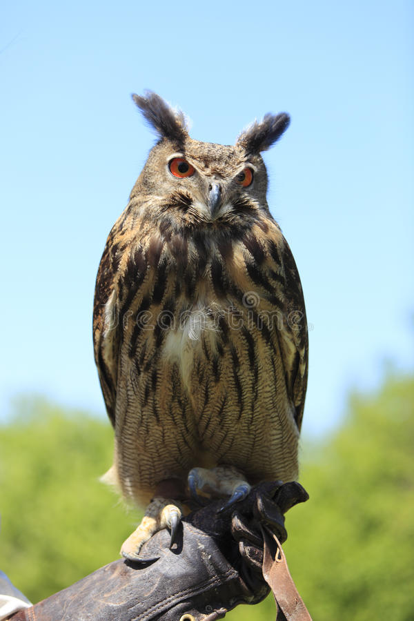 Download Owl stock image. Image of tamer, pause, animal, nature - 14776119