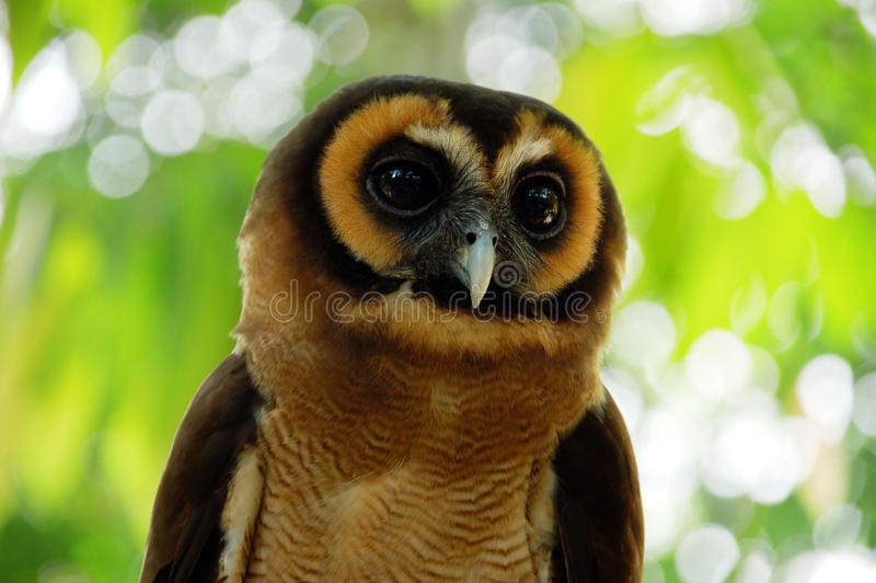 Download Owl Stock Photo - Image: 15905470