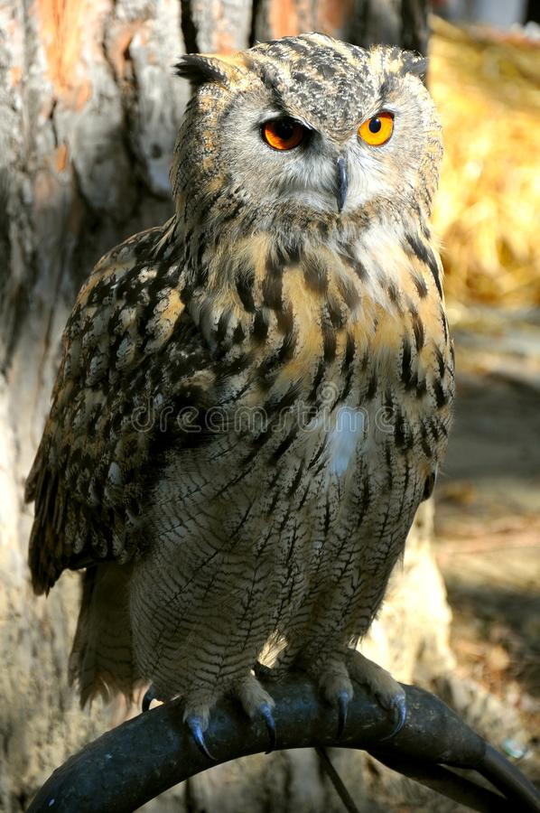 Download Owl stock photo. Image of copy, shot, alert, isolated - 16318680