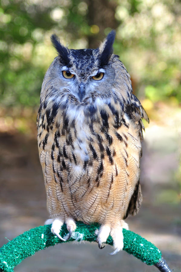 Free Owl Stock Images - 16599594
