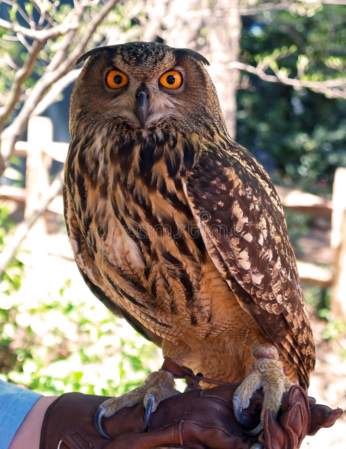 Download Owl stock photo. Image of brown, birds, stare, nocturnal - 2316472
