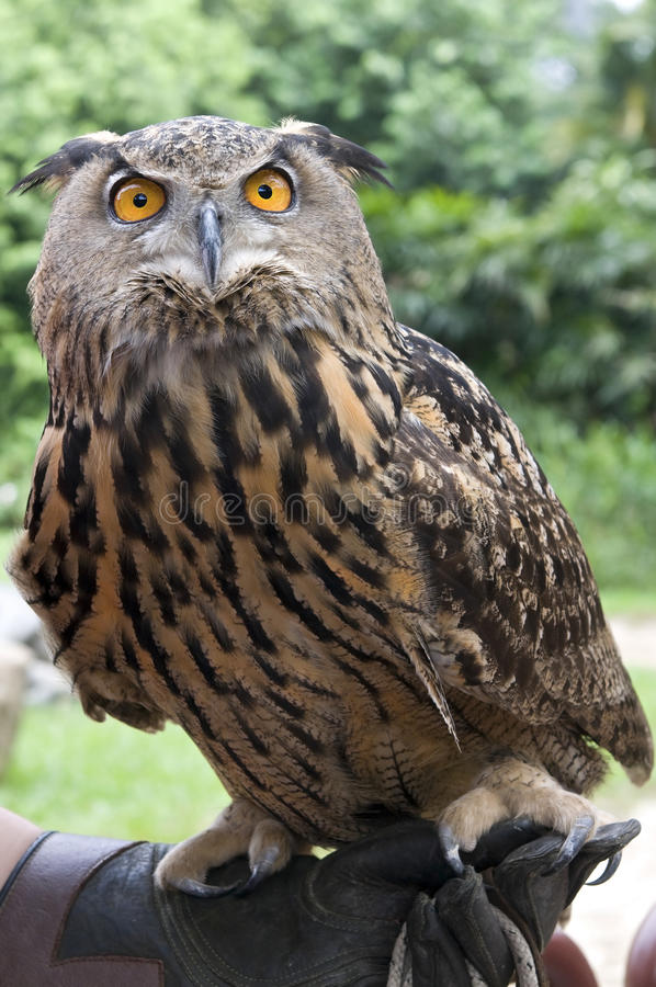 Download Owl stock image. Image of nature, claws, wing, strigiformes - 23219381