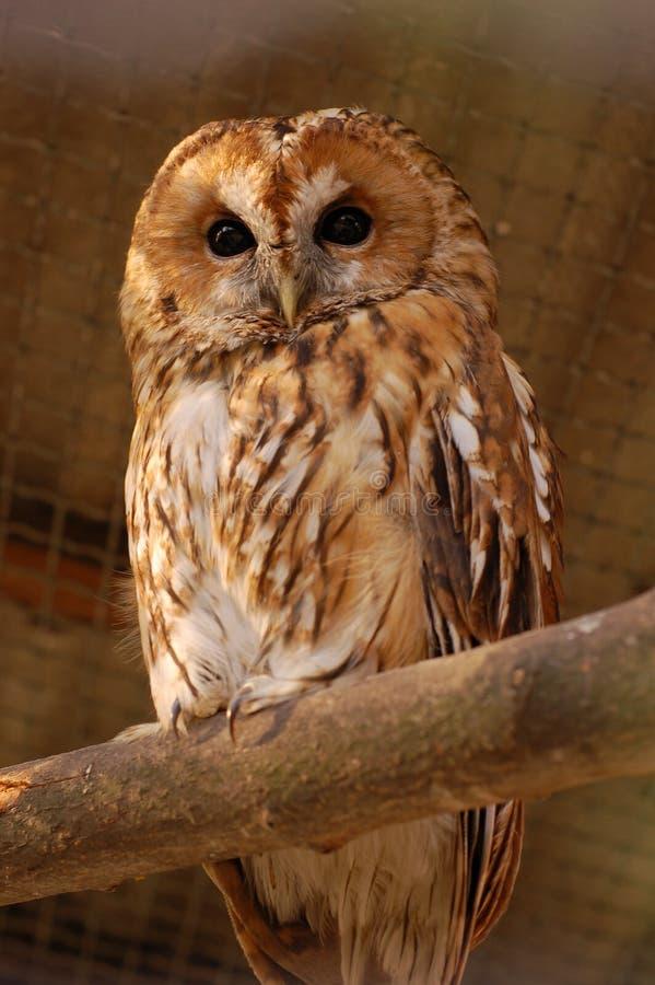 Owl 233 royaltyfria foton