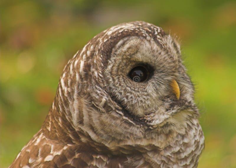 Download Owl fotografering för bildbyråer. Bild av jakt, djurliv - 279209