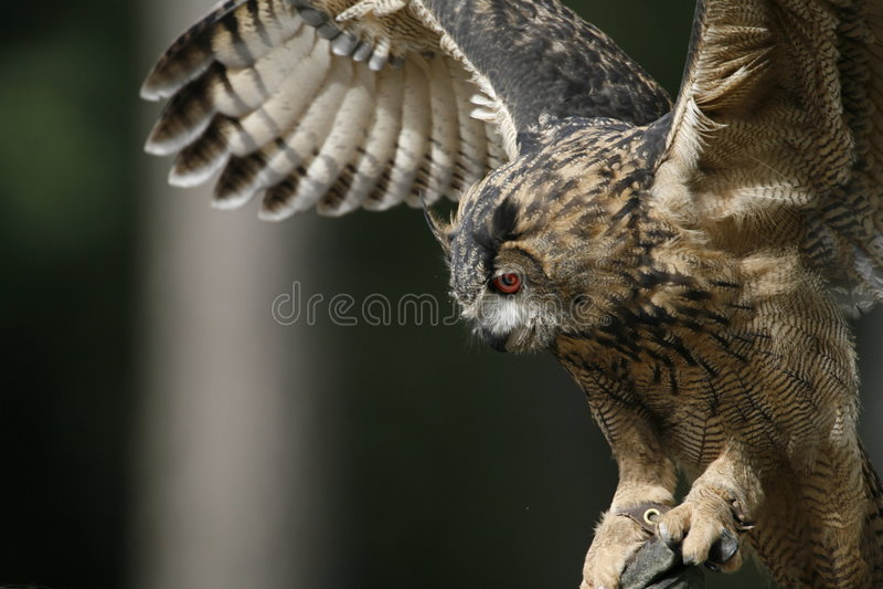 Owl 3 royalty free stock photo