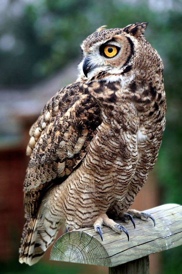 Owl standing on a wooden perch royalty free stock photography