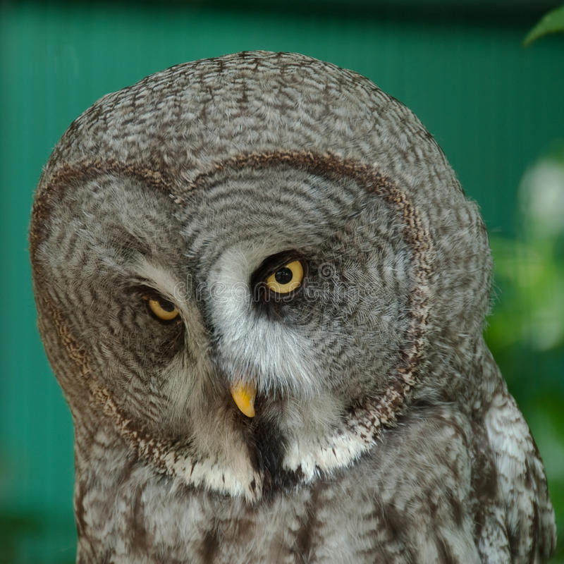 Free Owl 4 Royalty Free Stock Image - 15484016