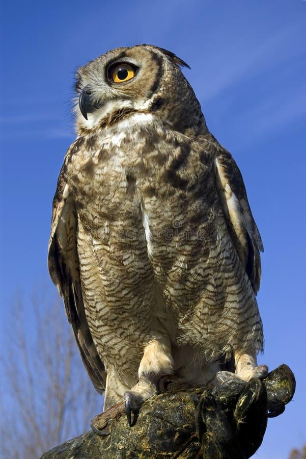 Owl. Short-eared owl against a deep blue sky stock image