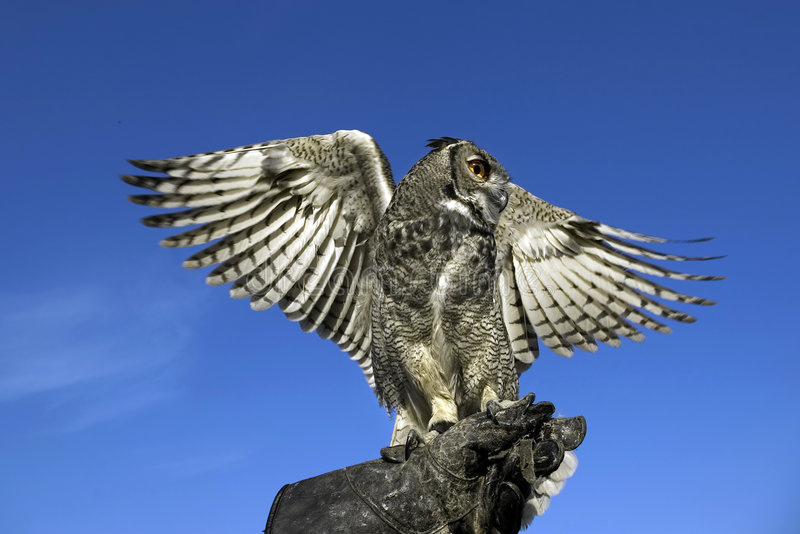 Owl. Short-eared owl opening his wings against a deep blue sky royalty free stock photos