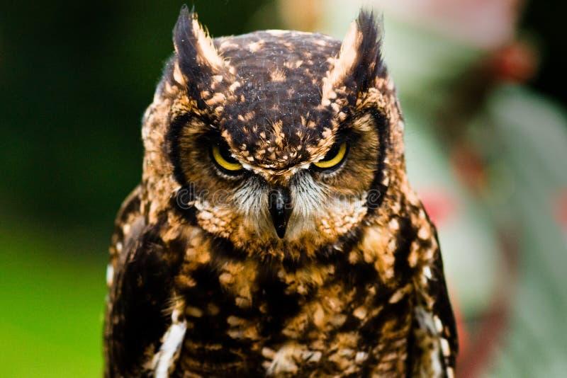 owl royaltyfria bilder