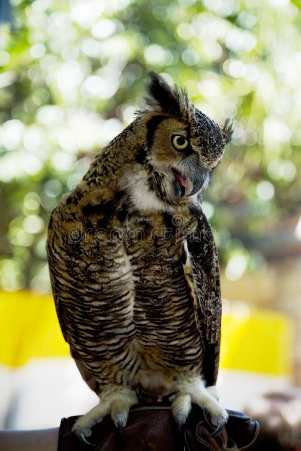 Download Owl stock image. Image of hoot, bird, predator, beak, hunter - 792731