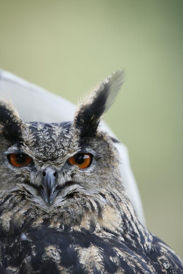 Owl stock photography