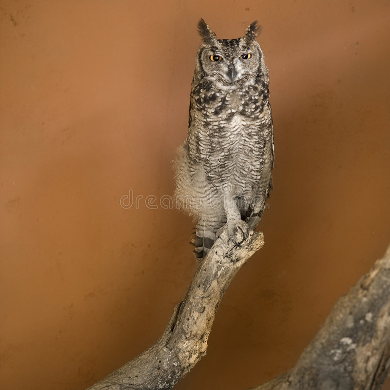 Owl in a african zoo. A Owl in a african zoo royalty free stock photography
