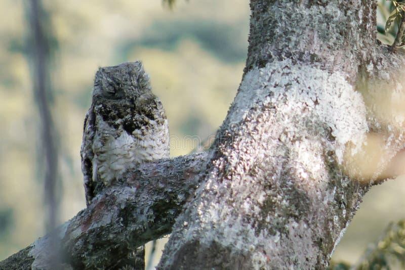 Owl asleep on a branch stock image