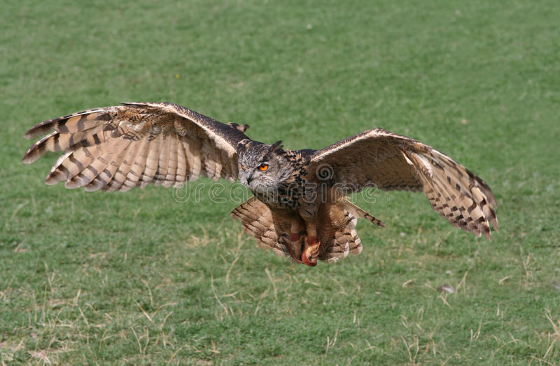 Owl Attack stock photography