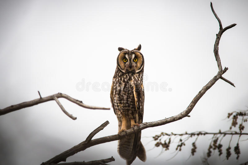 Owl on Bare Branch in Tree stock photo