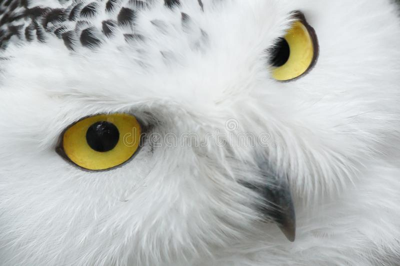 Owl, Beak, White, Bird Of Prey stock photos