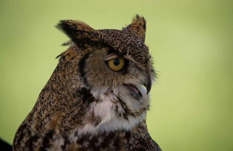 Owl Bird à cornes de proie images libres de droits