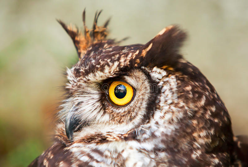 Owl Bird común fotografía de archivo libre de regalías