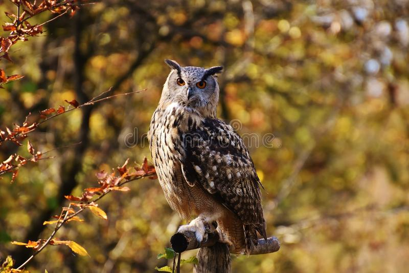 Owl, Bird, Fauna, Bird Of Prey royalty free stock photo