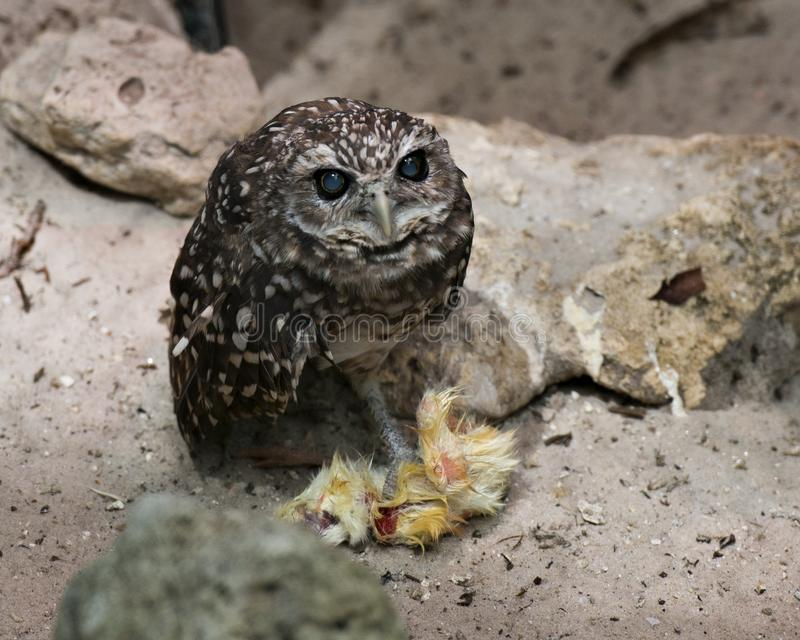 Owl bird Photos. Blind Owl.  Owl Florida Burrowing Owl blind owl with food on the ground close-up profile view royalty free stock photo