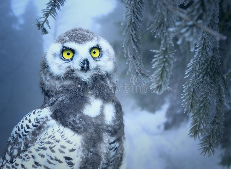 Owl, Bird Of Prey, Bird, Fauna royalty free stock photography