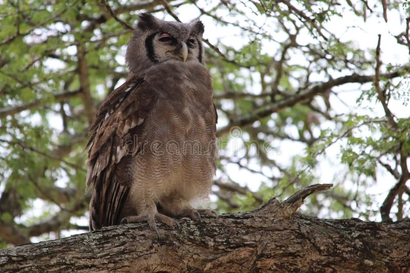 Owl, Bird, Bird Of Prey, Fauna royalty free stock images