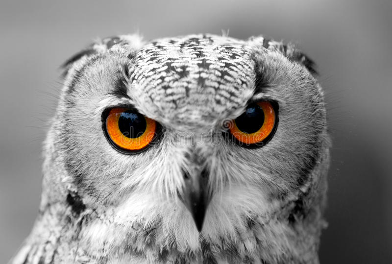 Download Owl stock photo. Image of monochrome, face, thing, living - 31596380