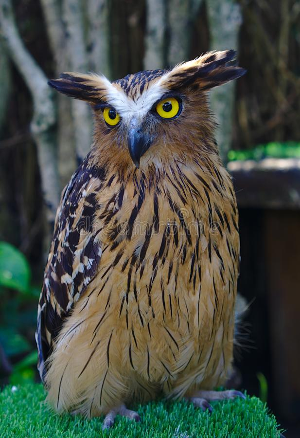 Owl in brown and black color. Close up view of owl in brown and black color with yellow eyes stock photos