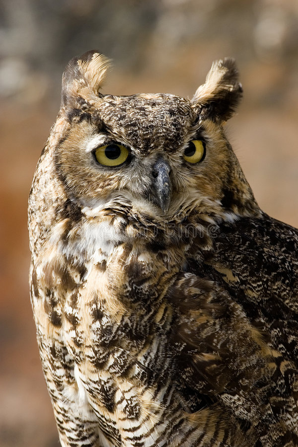Download Owl, Bubo bubo stock photo. Image of bubo, belgium, castle - 7782980