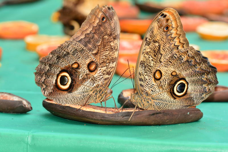 Owl butterflies feasting at the butterfly buffet. A pair owl butterflies land at their favorite table in the gardens stock photography