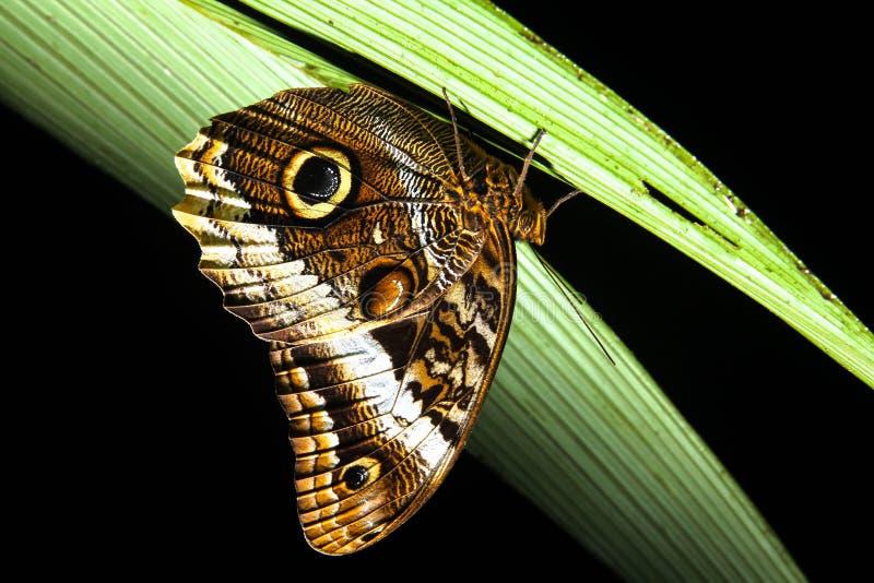 Owl Butterfly arkivbilder
