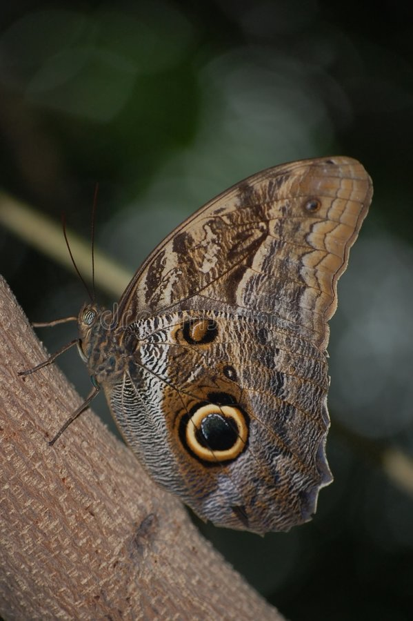 Free Owl Butterfly Stock Photo - 6738180