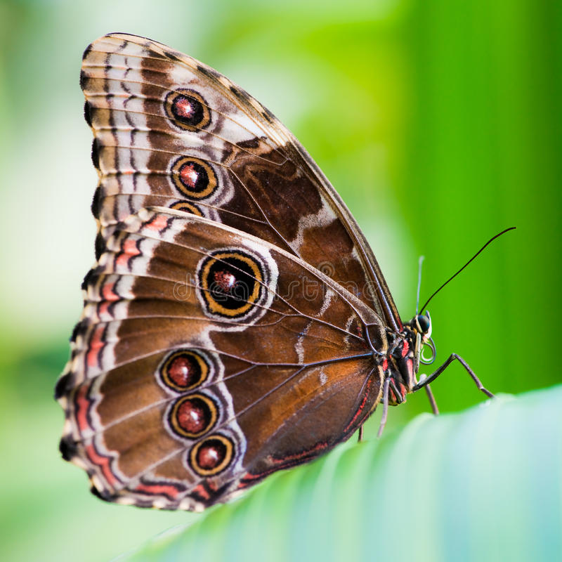 Free Owl Butterfly Royalty Free Stock Image - 9695966