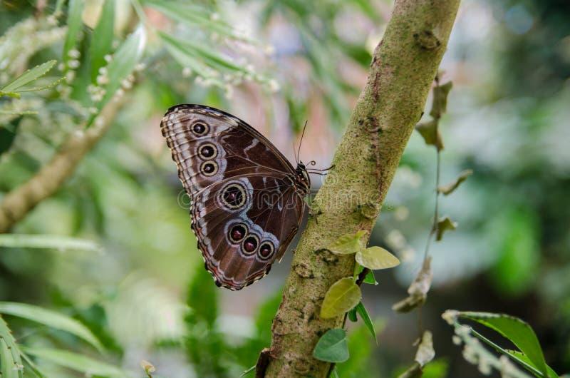 Owl Butterfly bij vlinderhuis Het Eiland van Mainau stock foto
