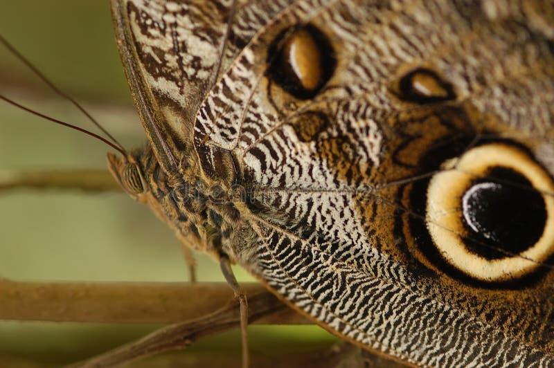 owl butterfly caligo idomeneus stock photo