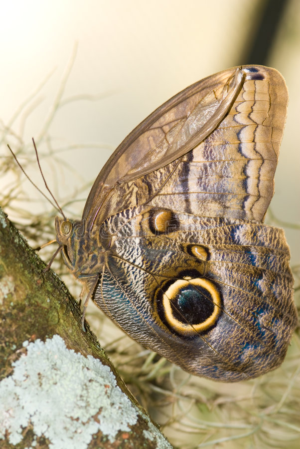Owl Butterfly (Caligo idumeneus) royalty free stock photo